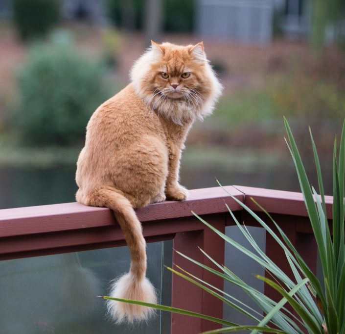 Brown furry cat sitting on a handrail | Anne Lord Photography