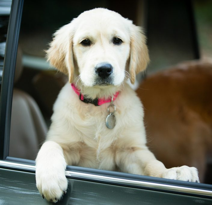 White puppy on opened car window | Anne Lord Photography