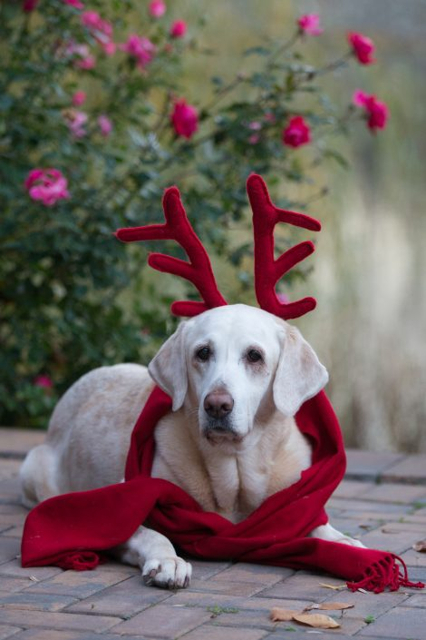 Dog wearing red scarf and antlers | Anne Lord Photography
