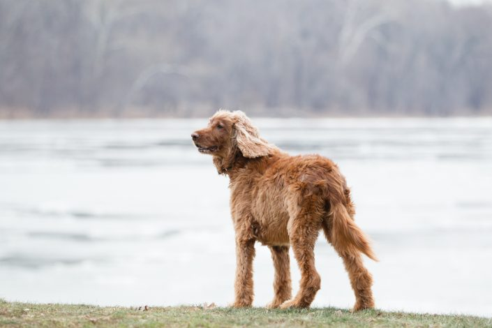 Brown curly dog on a grass | Anne Lord Photography