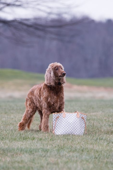 Big curly dog standing beside a bag | Anne Lord Photography