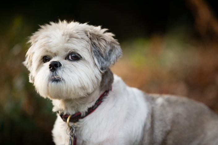 Short hair white shih tzu with collar | Anne Lord Photography