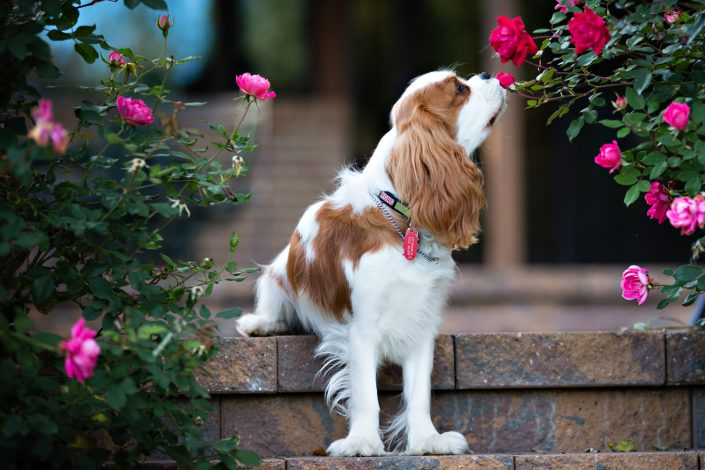 Dog smelling on flowers | Anne Lord Photography