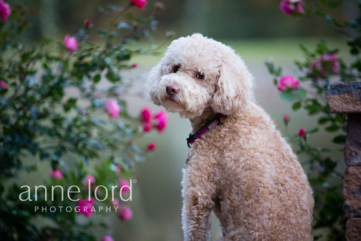 Cute brown hairy dog with a pink flower background | Anne Lord Photography