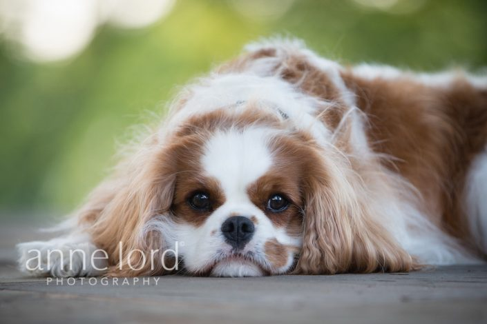 Cute dog lying on the floor | Anne Lord Photography