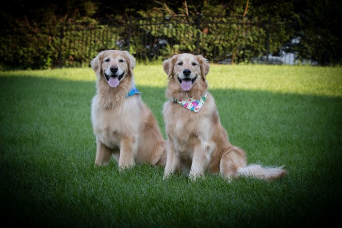 two brown dogs with a handkerchief on their neck | Anne Lord Photography