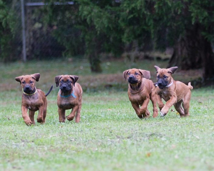 Four running puppies | Anne Lord Photography