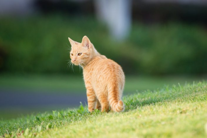 Brown cat standing on a grass | Anne Lord Photography
