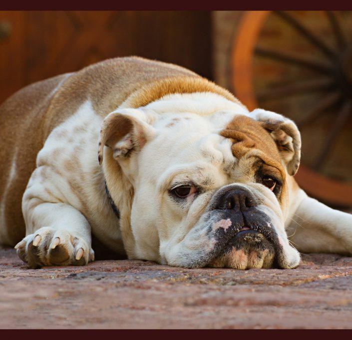 Sleepy American bulldog | Anne Lord Photography